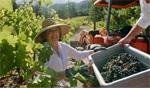 Sonoma County Grape Camp