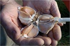 Olde Mystick Garlic Festival