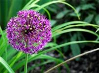 Allium Opens in February