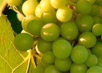 Pálava Wine Festival