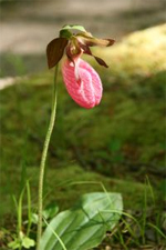 Lady's Slipper Picnic and Tea