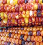 Corn, Beans and Squash
