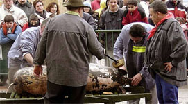 Traditional Pig Slaughter in Spain