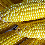 A Celebration of Indiana Sweet Corn