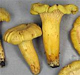 Illinois' Fall Mushrooms