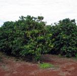 MauiGrown coffee plants