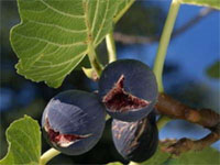 Mediterranean Fig Days