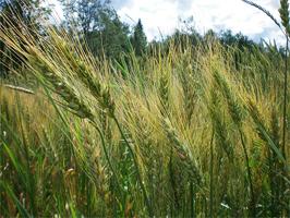 maine_wheat