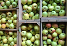 vermont_shelburne_apples