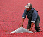 massachusetts_wareham_cranberry