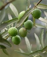 france_corconne-olive