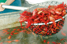 louisiana_breaux-bridge_crawfish