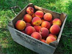 pennsylvania_gettysburg_peaches
