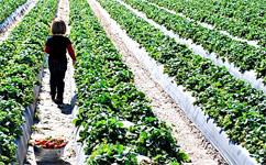 florida_plant-city_strawberries