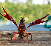 Crawfish in Lafayette, Louisiana
