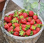 West Virginia Strawberry Festival