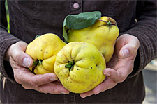 Quince Festival in Connecticut