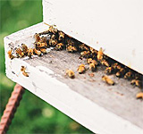 Beekeeping, Shaker Village at Pleasant Hill, Kentucky