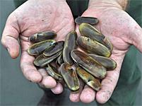 Razor Clam Festival & Seafood Extravaganza, Ocean Shores, Washington