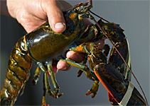 2018 Season for Maine New Shell Lobster Begins