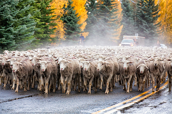 Trailing of the Sheep, Idaho