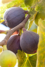 Fresh California Figs Still Available