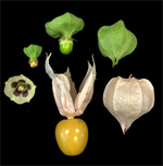 Physalis Fans: Heads Up