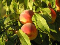 Michigan Peach Festival