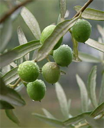 Olive Festival in Corconne