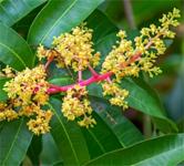 Tropical Forest India Mango Festival