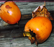 Persimmon Festival in Southern Indiana