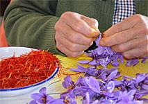 Spain's Saffron Rose Fiesta
