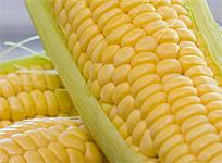 Sweet Corn Stars at Foodie Fests this Weekend