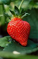 Strawberry Festival in Moulton, Alabama