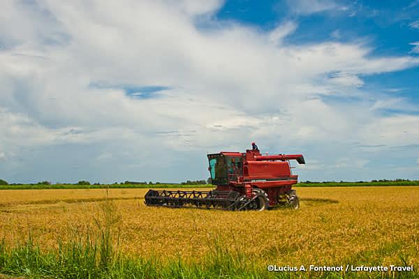 Harvesting rice in Louisiana