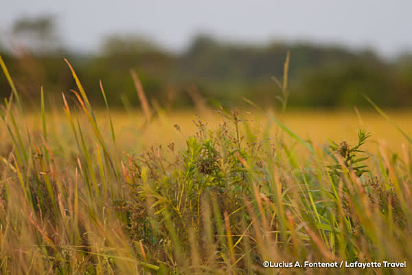 Louisiana rice field