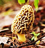 Morel Mushroom Festival in Indiana